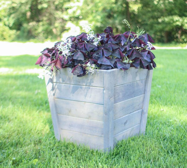 weathered gray diy planter box with large purple shamrock plant.